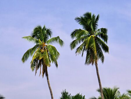 Palms on Mekong river, Champassak, Laos 免版税图像