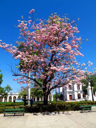 Cienfuegos  Cuba - 25 Feb 2011: The pink tree in Cienfuegos, Cuba