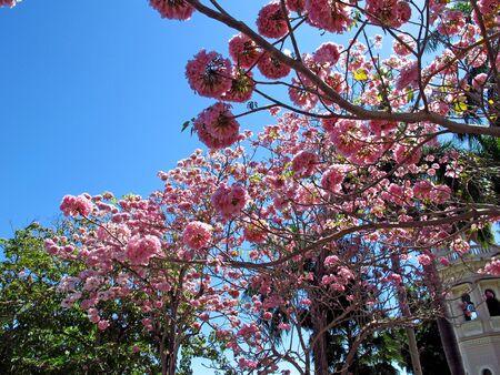 The pink tree in Cienfuegos, Cuba