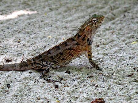 The lizard on Maldives, Indian ocean Stock fotó
