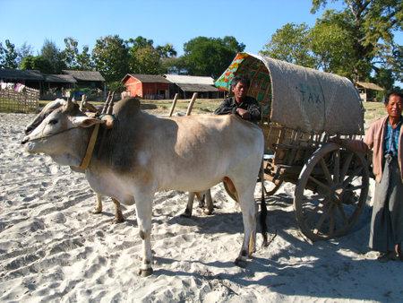 Mingun / Myanmar - 07 Jan 2010: the wagon with the bulls