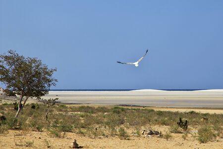 The vulture on the coast of Indian ocean, Socotra island, Yemen Archivio Fotografico