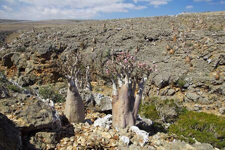 Albero bottiglia sull'isola di Socotra, Oceano Indiano, Yemen