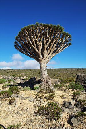 Dragon tree, Blood tree on Homhil plateau, Socotra island, Indian ocean, Yemen 스톡 콘텐츠