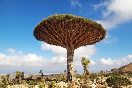 Albero del drago, albero del sangue sull'altopiano di Homhil, isola di Socotra, Oceano Indiano, Yemen Archivio Fotografico