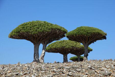 Arbre dragon, arbre de sang sur le plateau de Homhil, île de Socotra, océan Indien, Yémen