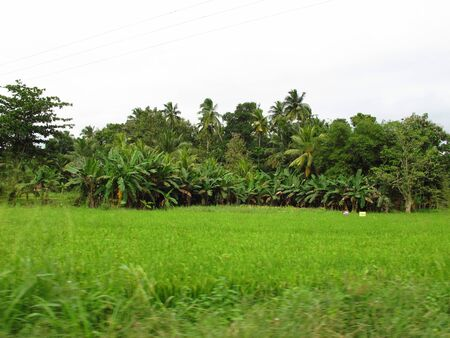 The pineapple plantation in the valliage, Sri Lanka