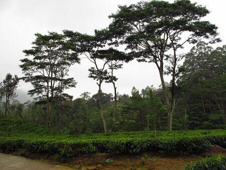 The tea plantation, Nuwara Eliya, Sri Lanka Фото со стока
