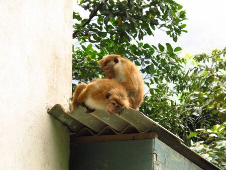 Monkeys in Nuwara Eliya, Sri Lanka