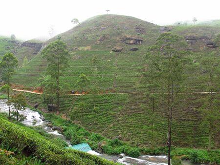The tea plantation, Nuwara Eliya, Sri Lanka Foto de archivo