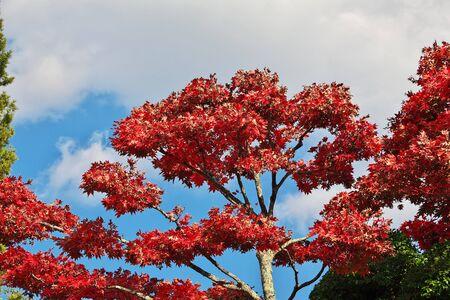 Red maples Momiji, Nikko, Japan