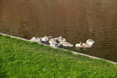 Swan in Kronborg castle, Denmark, North sea