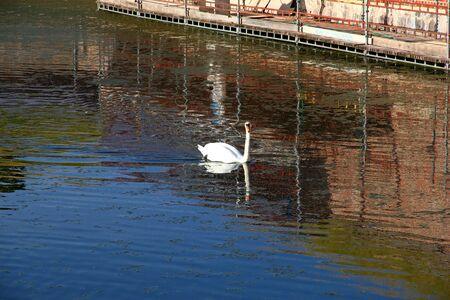 Swan  , Denmark, North sea