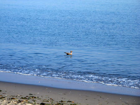 The pelican in the Pacific, Paracas, Peru