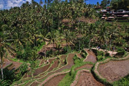 Bali / Indonesia - 06 Aug 2016: The rice terraces on Bali, Indonesia