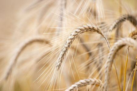Grain ears Stock Photo - 1280318