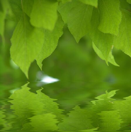 Fresh green leaves over water                             Stock Photo
