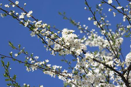 cherry blossoms Stock Photo - 3306373