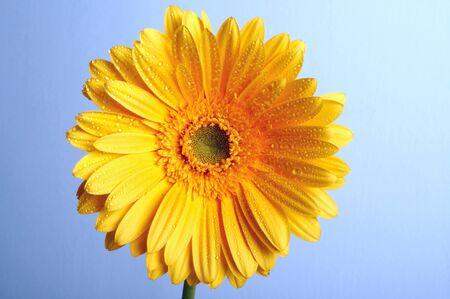 beautiful yellow flower petals closeup Stock Photo - 4295668