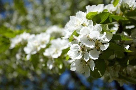 Apple flowers Stock Photo - 8163458
