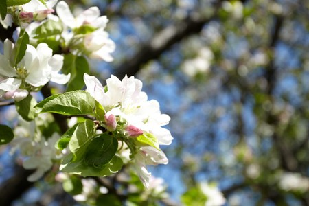 Apple flowers Stock Photo - 8164009