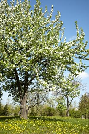 Apple tree Stock Photo - 8221529