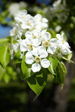 Apple flowers Stock Photo - 8293008
