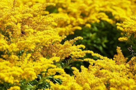 celosia:  Yellow  celosia flowers Stock Photo