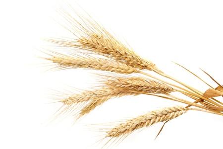 avena: trigo aislado en blanco