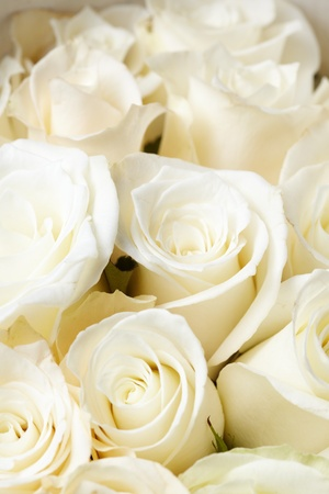 White roses Stock Photo - 9558834