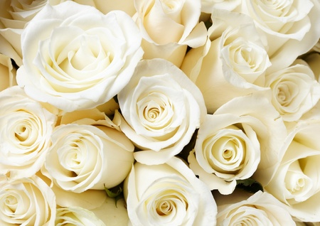 Cream roses photo