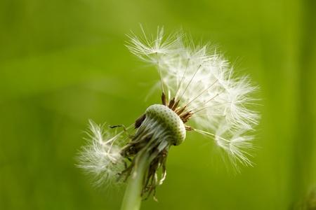 Dandelion on green background photo