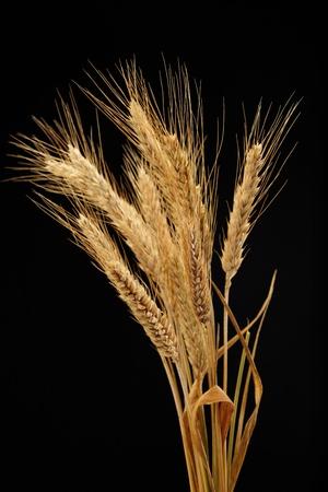 wheat isolated on black background Stock Photo - 9762697
