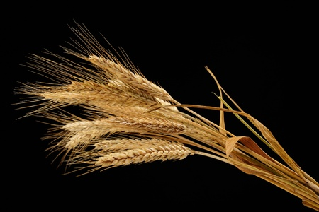 yellow flour: wheat isolated on black background