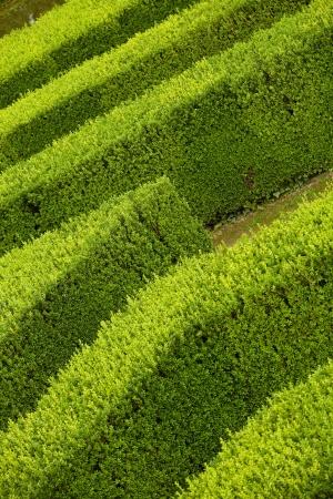 geometric pattern of green hedge flowerbed