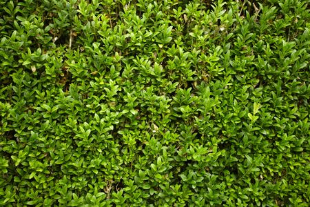 quick hedge: green hedge flowerbed Stock Photo
