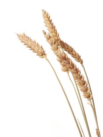 wheat isolated on white photo