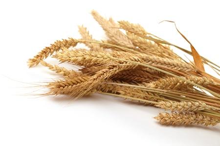 cosecha de trigo: Los tallos de espigas de trigo