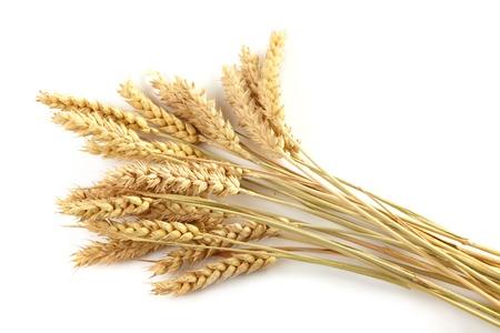 wheat crop: Los tallos de espigas de trigo