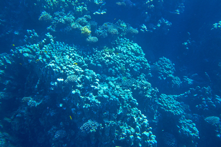 stony corals: coral reef