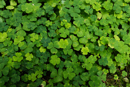 luckiness: clover plants Stock Photo