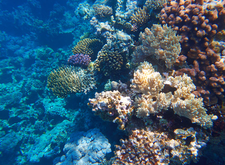 madreporaria: coral reef