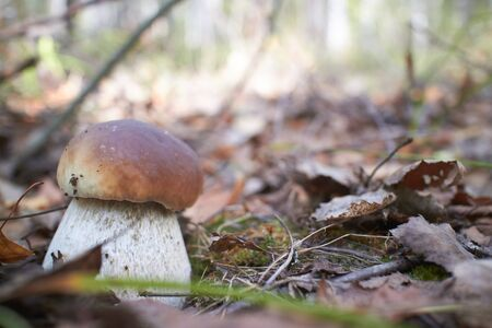 boletus mushroom: boletus mushroom Stock Photo