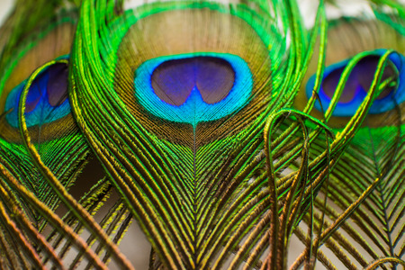 Colorful peacock feathers