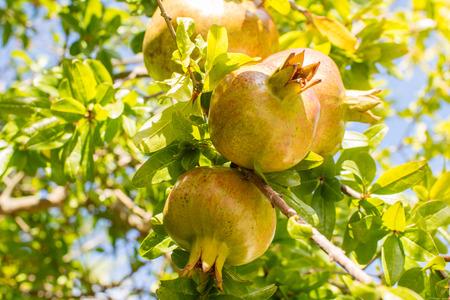pomergranate: pomergranate tree