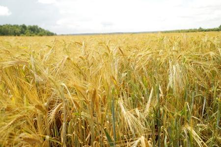 fertile land: wheat field