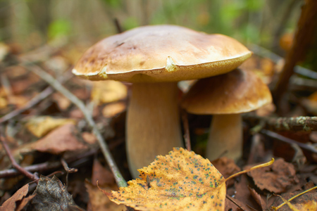 skewbald: mushrooms in the forest Stock Photo