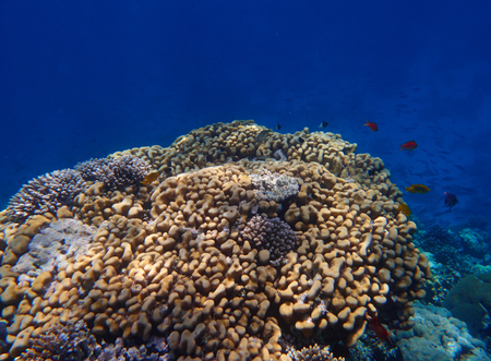 hard coral: coral reef