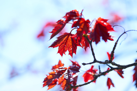 branching: maple leaves Stock Photo