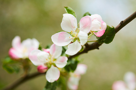horticultural: apple blossom Stock Photo